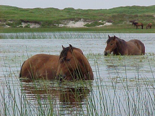 Bathing-Horses-PM